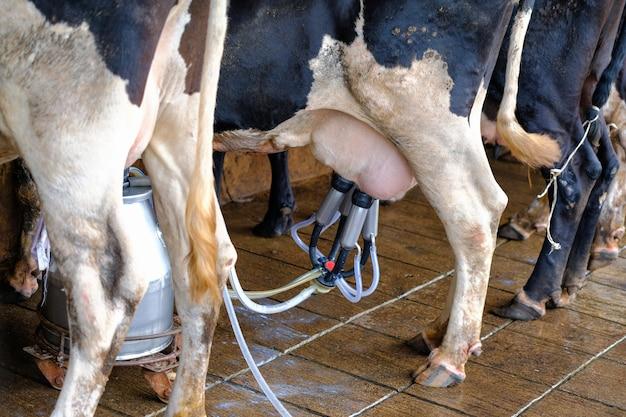 A leiteira na fazenda pela máquina de ordenha