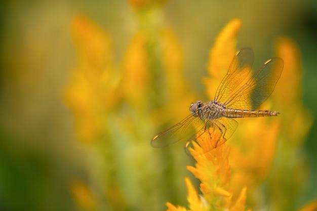 A libélula em celosia argentea l. cv. plumosa flor no jardim