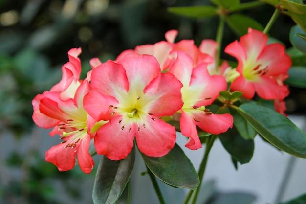 A linda flor rosa e branca no jardim da natureza