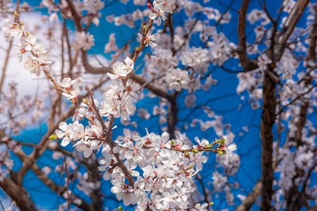 A linda primavera florescendo árvore de alperce