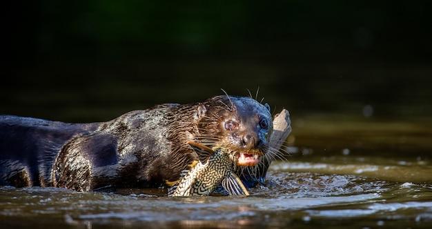 A lontra gigante está comendo peixe na água