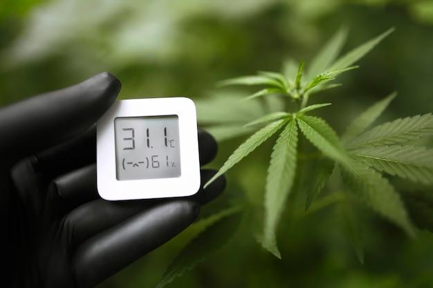 A luva preta segura um dispositivo eletrônico para medir a umidade e a temperatura na plantação de cannabis. higrômetro-termômetro usado para monitorar o crescimento e o desenvolvimento da maconha medicinal