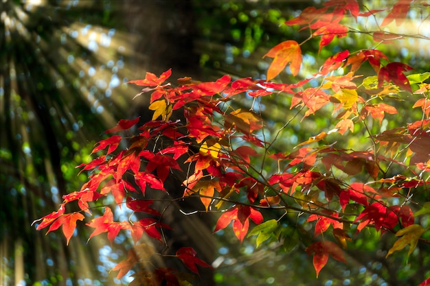 A luz brilha através da árvore com folhas vermelhas.