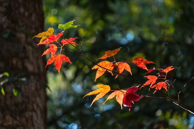 A luz brilha através da árvore de bordo com folhas vermelhas.