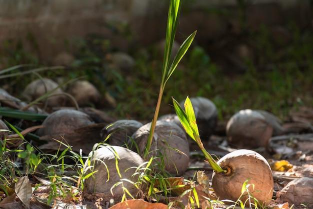 A luz do sol da manhã brilhando no coco caído no chão.