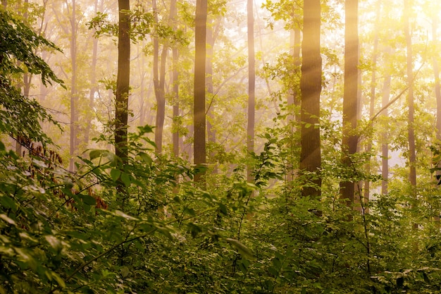 A luz do sol da manhã ilumina a floresta. manhã na floresta durante o nascer do sol
