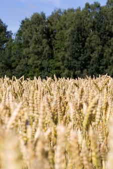A luz do sol iluminando intensamente as espigas de um campo agrícola com cereais amadurecidos