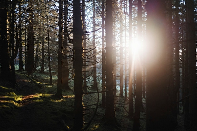 A luz do sol irradiando pela floresta de whinlatter forest no lake district, na inglaterra
