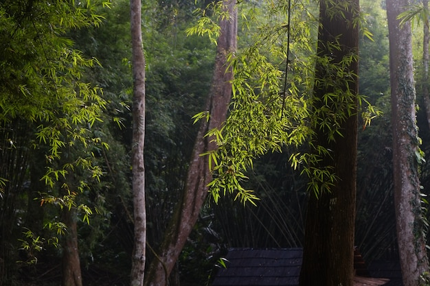 A luz solar da manhã iluminou as árvores de bambu na floresta tropical tropical escura.