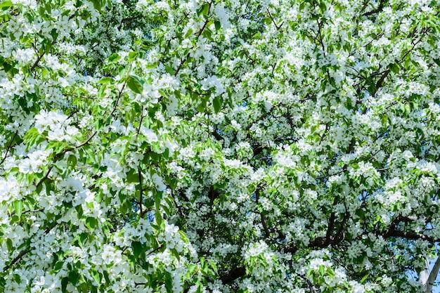A macieira em flor (malus prunifolia, maçã chinesa, maçã silvestre chinesa) espalhou o aroma perfumado. a macieira em plena floração à luz do sol. close-up de macieira de flores. a primavera.
