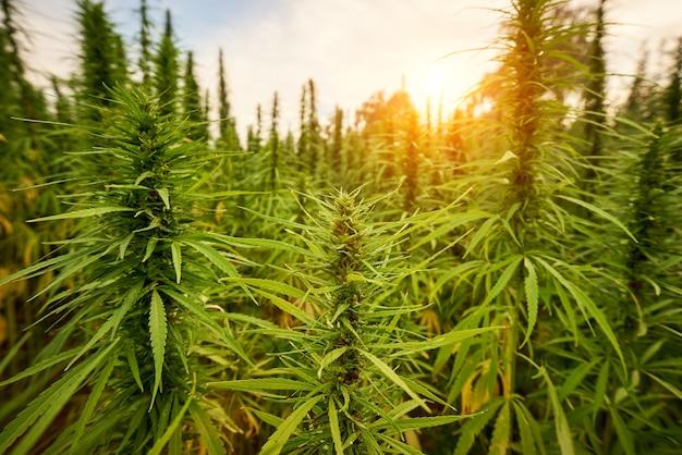 A maconha deixa as plantas de cannabis no fundo da fazenda ao pôr do sol