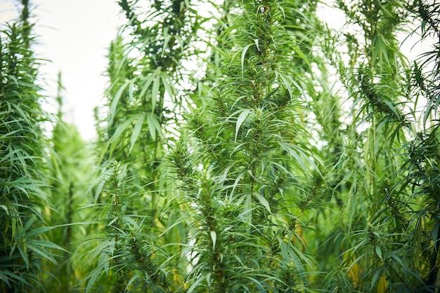A maconha deixa plantas de cannabis no fundo da fazenda