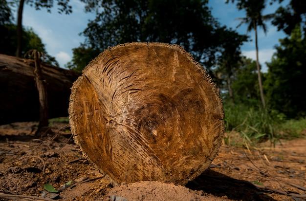 A madeira é empilhada no chão da floresta
