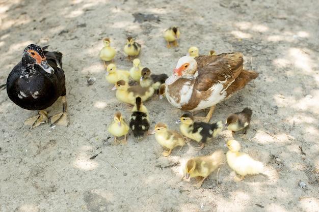 A mãe abaixa os patinhos. muitos patinhos seguem a mãe.
