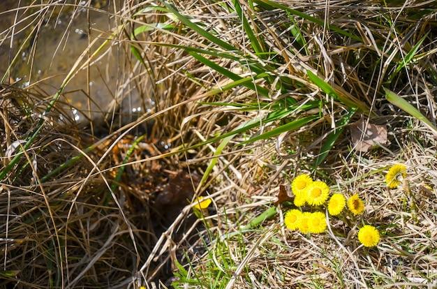 A mãe e madrasta das flores amarelas floresceram na primavera.