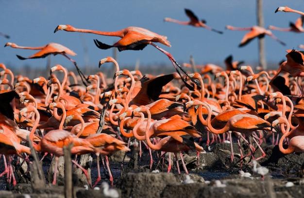 A maior colônia de flamingo caribenho. reserva rio maximã â °.