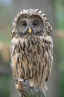 A maioria das corujas de duas caudas no inverno selvagem