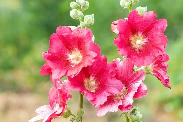 A malva-rosa crescendo em um jardim. flor rosa vermelha de uma malva-rosa close-up sobre fundo verde desfocado.