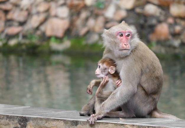 A mamã selvagem tailandesa da cara vermelha e o bebê monkey o assento perto do rio.