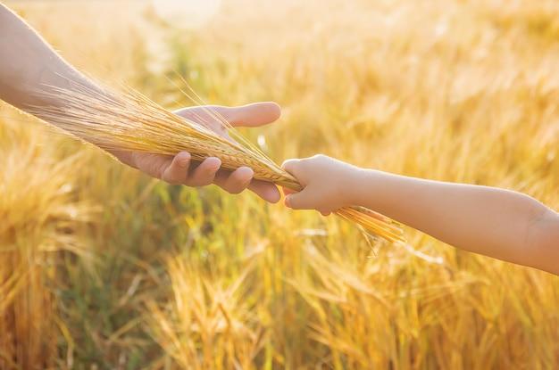 A mão da criança e do pai no campo de trigo.