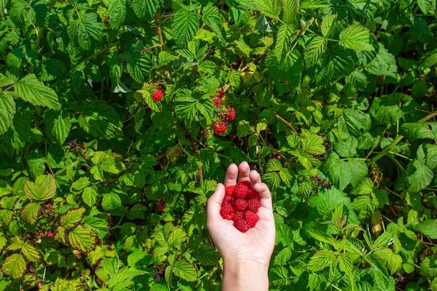 A mão da menina em um dia ensolarado brilhante do verão escolhe framboesas maduras vermelhas de um arbusto verde