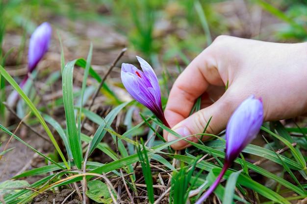 A mão da menina pega uma flor de açafrão roxo, crocus sativus, crescendo no campo, fios de açafrão vermelho são usados como tempero culinário e tintura.