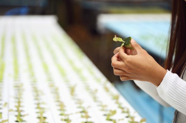 A mão da mulher cuida das mudas de vegetais na trama hidropônica.