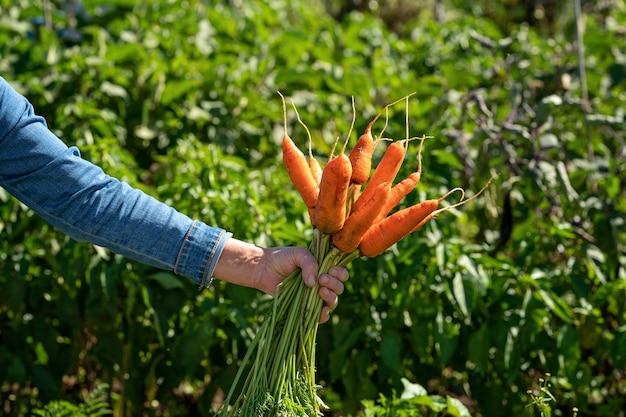 A mão da mulher segura um monte de cenouras legumes recém-colhidos