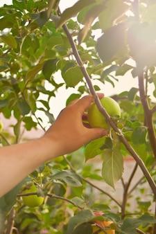 A mão de um homem pegando uma maçã de uma árvore
