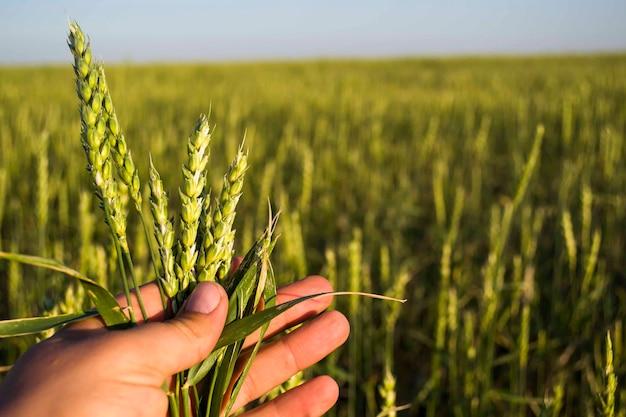 A mão de um homem segura as orelhas, close da colheita