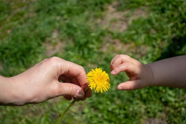 A mão de uma criança dá flores de dente de leão para a mão da mãe duas mãos segurando uma flor