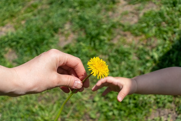 A mão de uma criança dá flores de dente-de-leão para a mão da mãe. duas mãos segurando uma flor.