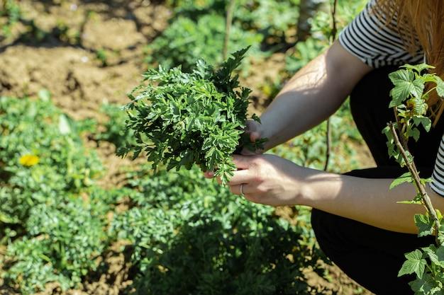 A mão de uma mulher colhe folhas de salsa no jardim.