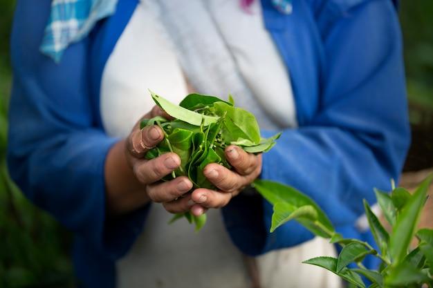 A mão de uma mulher que recolhe folhas de chá na terra ao norte da tailândia.
