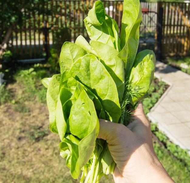 A mão de uma mulher segura um ramo recém-cortado de espinafre verde jovem, ao ar livre, luz solar intensa e sombras, close-up.