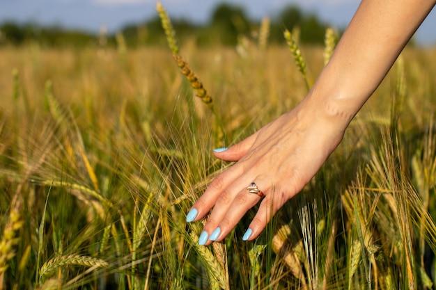 A mão de uma mulher toca espigas de trigo jovem ao pôr do sol ou nascer do sol.