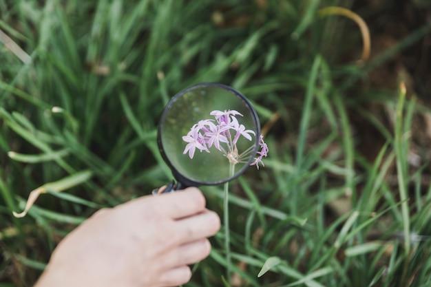 A mão de uma pessoa segurando lupa sobre a flor roxa