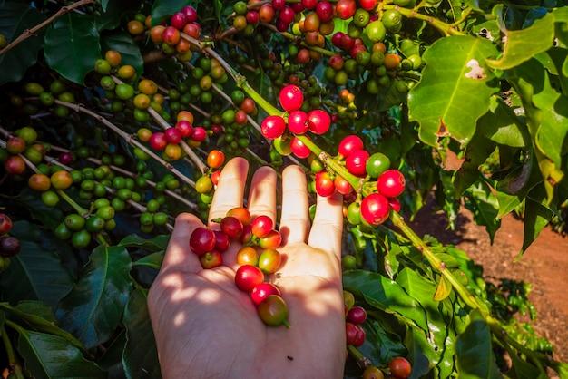 A mão de uma pessoa segurando os grãos de café na árvore.