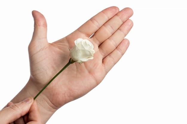A mão do homem com um rosa rosed em fundo branco
