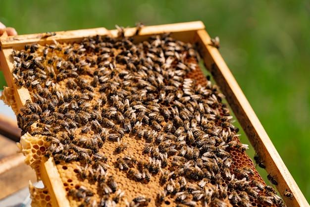 A mão do homem possui um frame de madeira com favos de mel e abelhas no verão no quintal