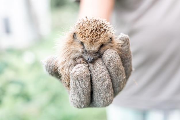A mão do homem segura um pequeno ouriço espinhoso selvagem e fofo enrolado em uma bola. resgate e cuidado de animais