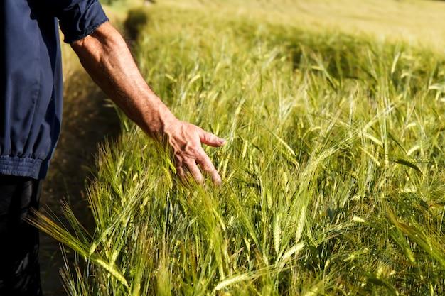 A mão do homem segurando espigas de trigo em um campo de trigo