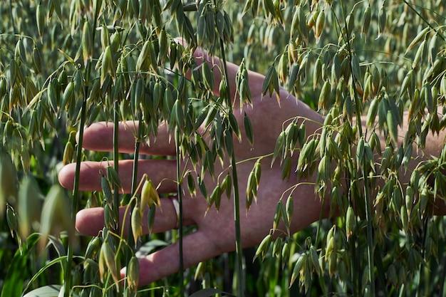 A mão do homem toca as orelhas de aveia, um campo verde em um dia ensolarado, agricultura