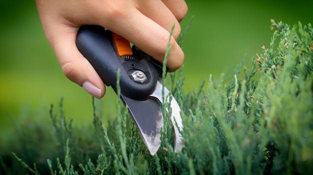 A mão do jardineiro corta o galho desnecessário do teixo com um tesoura