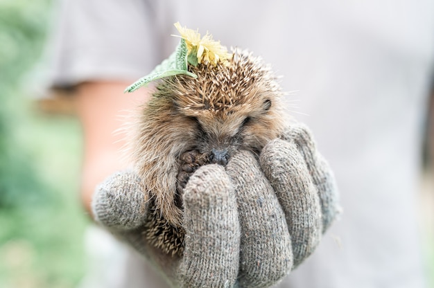 A mão enluvada de um homem segura um pequeno ouriço espinhoso selvagem e fofo enrolado em uma bola e com folhas e flores na cabeça. resgate e cuidado de animais, proteção do meio ambiente