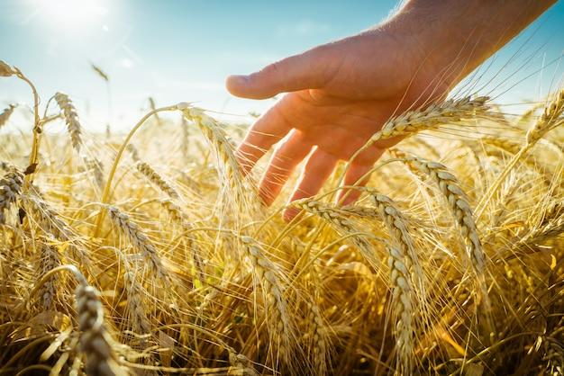 A mão toca as orelhas do agricultor de cevada em um conceito de colheita rica em campo de trigo