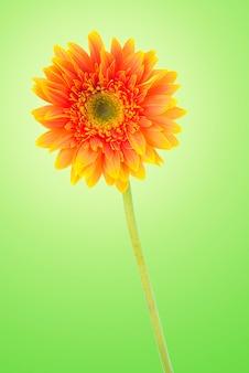 A margarida amarela do gerbera floresce no verde com trajeto de grampeamento.