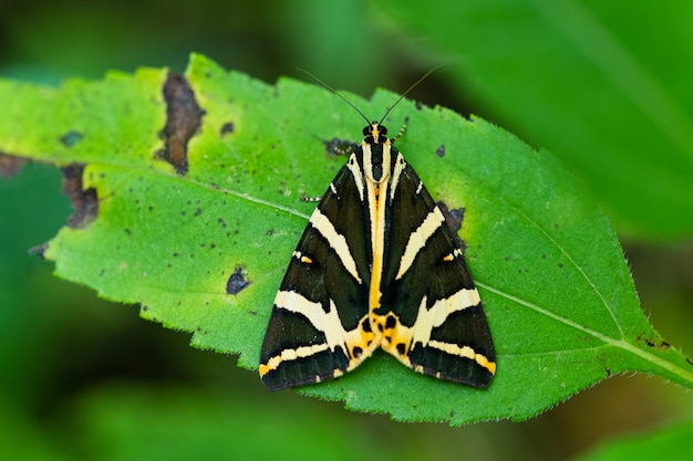 A mariposa voadora do dia do tigre de jersey (euplagia quadripunctaria)