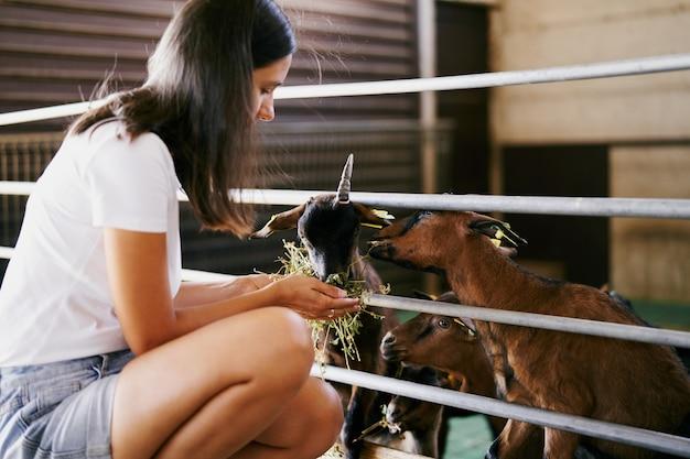 A menina alimenta as cabras com feno através da cerca