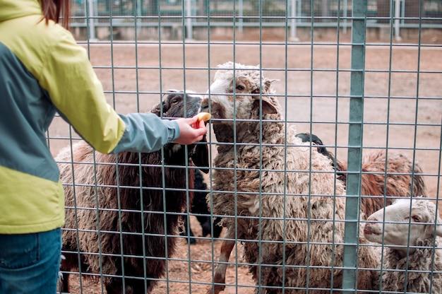 A menina alimenta as ovelhas marrons e brancas. os animais comem maçãs por meio de uma rede em uma gaiola e ficam nos cascos traseiros. mamíferos zoo animais famintos foco seletivo